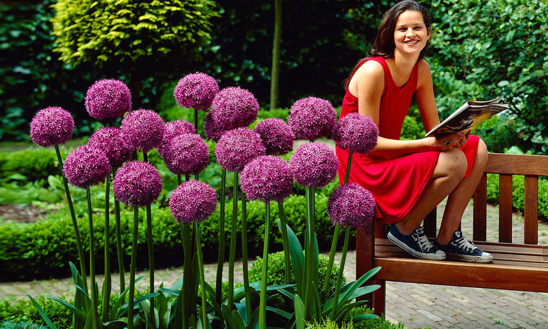 giant allium giganteum flower bulbs