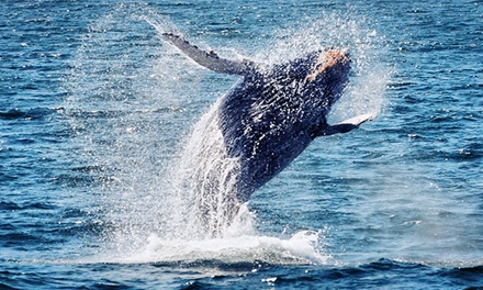 One or Two Kid or Adult Tickets to Whale/Dolphin-Watching Cruise from Newport Landing Whale Watching (Up to 60%)