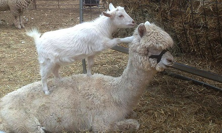 Petting-Zoo Visit for Two or Four with Pony Rides and Hayride at Fiesta Farm (Up to 46% Off)