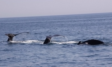 $30 for a Whale-Watching Tour for One Adult from Provincetown Whale Watching ($42 Value)