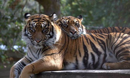 Exclusive Viewing of Sumatran Tigers or Drive-Through Admission or Both at Wildlife Safari (Up to 48% Off). Four Options Available.