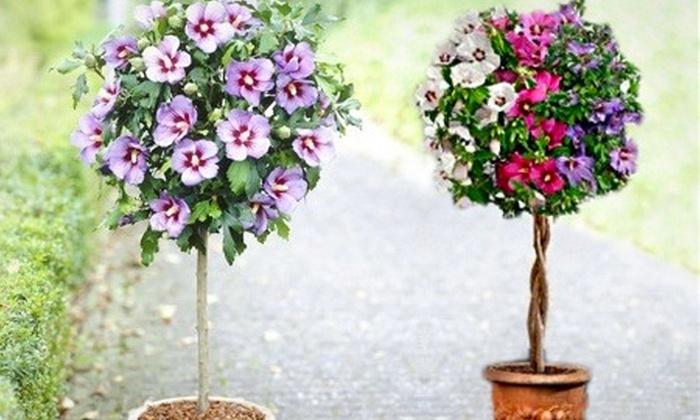Сирийская роза выращивание в комнатных условиях 84