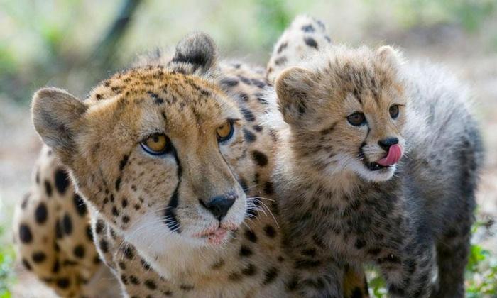 The Ann van Dyk Cheetah Centre - The Ann van Dyk Cheetah Centre: Guided Tour and Cheetah Experience from R350 at The Ann van Dyk Cheetah Centre (Up to 58% Off)