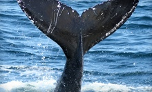 $25 for a Whale-Watching Trip from Plymouth Whale Watch (Up to $42 Value)