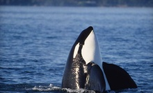 Orca-Watching Tour for One, Two, or Four from San Juan Excursions (Up to 51% Off)