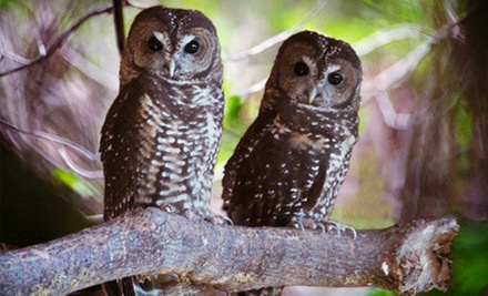 Adoption of a Northern Spotted Owl and Guided Tour for Two or Four at Mountain View Wildlife Conservation (Half Off)