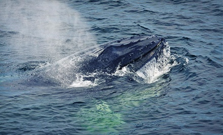 Whale-Watching Tour for One, Tour, or Four from Newburyport Whale Watch (Up to 43% Off)
