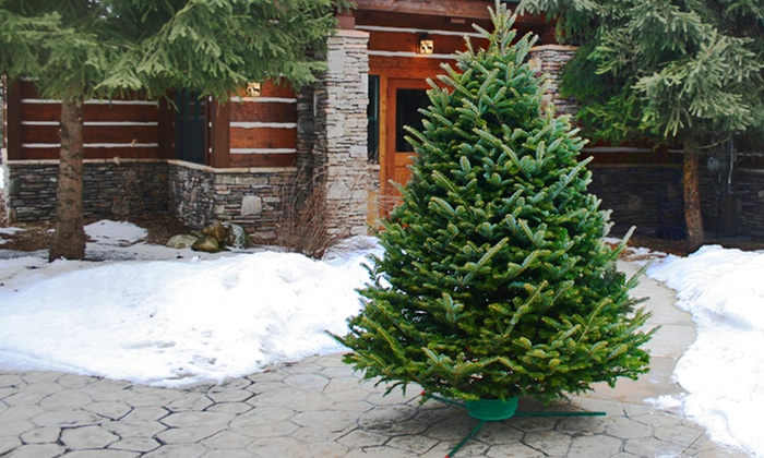 Fresh Cut Christmas Trees Premium Fraser Fir or Black Hill Spruce Groupon
