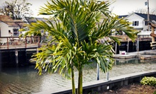 Christmas Palm Tree from Island Wide Palm Trees (67% Off). Three Options Available.