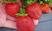 Strawberry Picking for Two, Valid Tuesday–Friday, Saturday, or Sunday at Mercier Orchards (Half Off)
