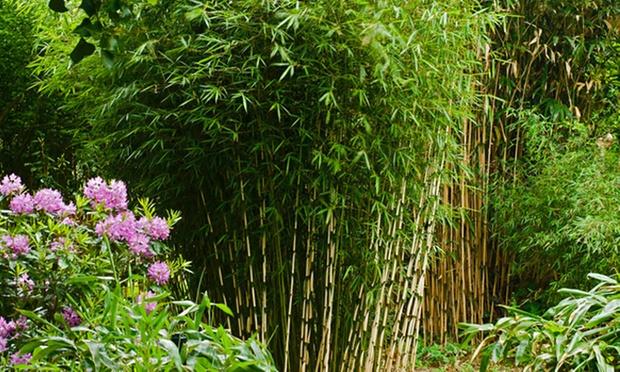 Plantes bambou groupon shopping for Plante bambou exterieur