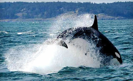 Orca-Whale-Watching Cruise for One or Two from Island Mariner (45% Off)