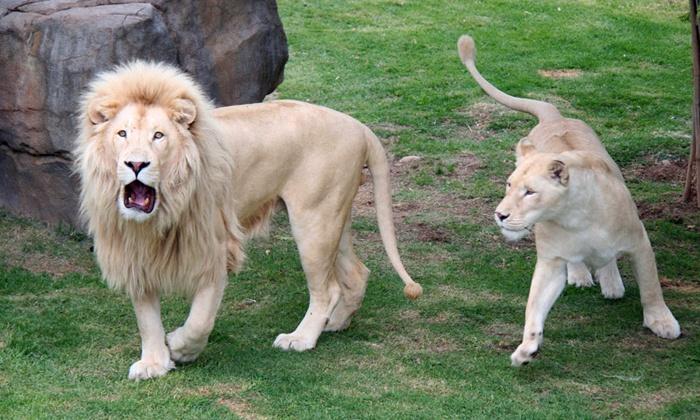 Cango Wildlife Ranch - Oudtshoorn: Tickets to Cango Wildlife Ranch in Oudtshoorn From R145 (50% Off)