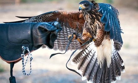 60-Minute Hands-On Falconry Experience for One or Two from Adam's Falconry Service (Up to 51% Off)