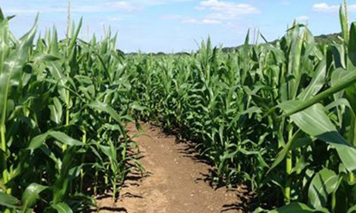 Maize Maze at Stanhill Farm - Dartford: Maize Maze Entry For Two (£6) or Five (£12) at Stanhill Farm (Up to 54% Off)
