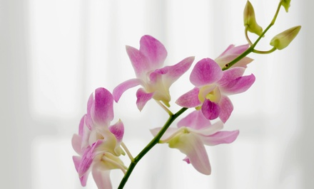 $32 for $60 Worth of Orchids from Holly Orchid Nursery