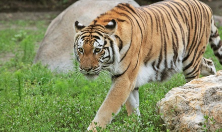 $29 for Visit for Four to Big Cat Habitat and Gulf Coast Sanctuary (Up to $60 Value)