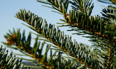 Premium Balsam Fir Christmas Tree Delivered from 3 Planteurs (Up to 40% Off). Four Sizes Available.
