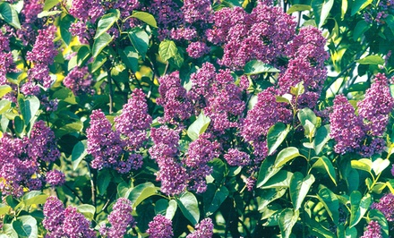 Live Lilac Shrubs from $9.99–$12.99