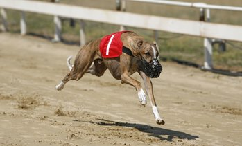 Greyhound Racing Package for Two
