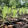Tree Pittsburgh - Garfield: If 35 People Donate $10, Then Tree Pittsburgh Can Cultivate 35 Trees from Seed to Sapling to Rejuvenate the Urban Forest