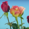 Half Off Flowers and Gifts from Blooms by Home