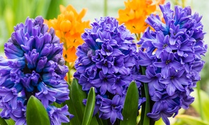 Blue Double Hyacinth Flower Bulbs (8-, 12-, 20-Pack)