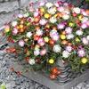 Groundcover Mixed Ice Plants (5 Plants)