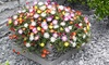 Groundcover Mixed Ice Plants (5 Plants): Groundcover Mixed Ice Plants (5 Plants)