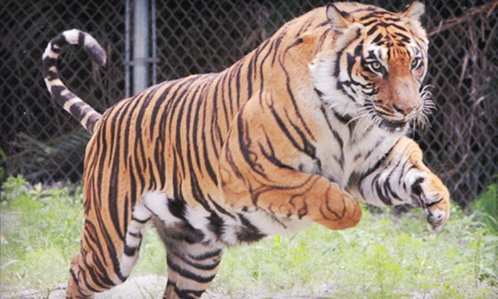 Big Cat Habitat and Gulf Coast Sanctuary - Sarasota: $30 for a Big Cat Habitat and Gulf Coast Sanctuary Visit for Four in Sarasota (Up to $60 Value)