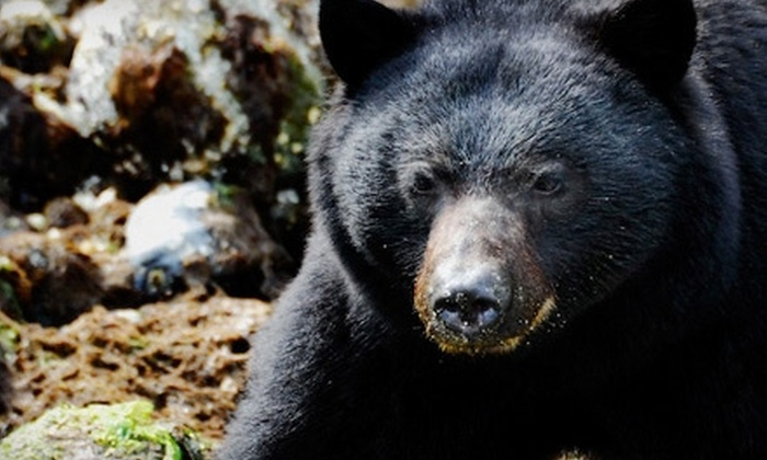 West Coast Aquatic Safaris - Tofino: $48 for One Adult Ticket to a Whale or Bear Watching Tour from West Coast Aquatic Safaris (Up to $97.23 Value)