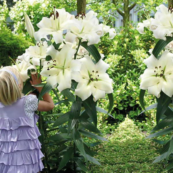 Giant Tree Flower Lily Bulbs 3 Pack Groupon