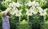 Giant Tree Flower Lily Bulbs (3-Pack): Giant Tree Flower Lily Bulbs (3-Pack)