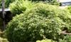 Planta acer japonés 'Emerald Lace'