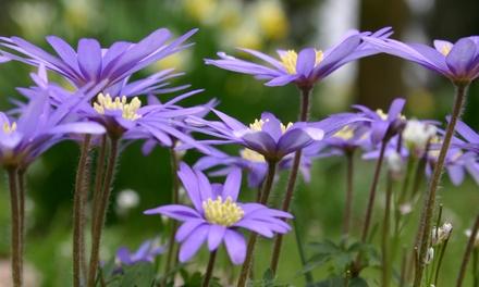 25 or 50 Anemone Blanda Blue