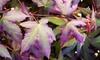 Acer Palmatum-plant Mystic Jewel