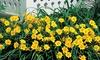 Mothers Daylily Hemerocallis Stella Flower Bulbs (4-, 8-, 12-Pack): Mothers Daylily Hemerocallis Stella Flower Bulbs (4-, 8-, 12-Pack)