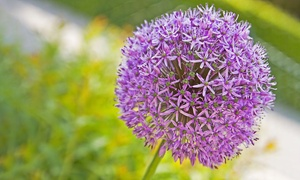 Pre-Order Deal: Allium Purple Sensation Bulbs (15-Pack)
