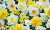 Up to 80 Narcissus Mixed Bulbs