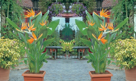 One or Two Strelitzia Bird of Paradise Plants with Optional Pots