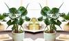 Alocasia Stingray Houseplant