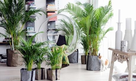 2 o 4 palmeras areca