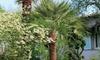 Lot de 3 palmiers de jardin