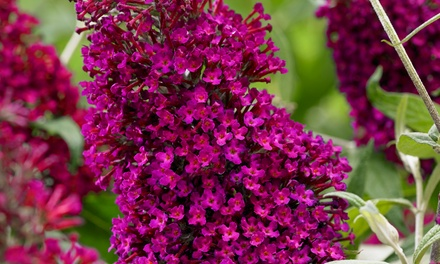 One, Two or Threee Shrubs of Buddleja Sugar Plum or Snow White