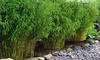 5 ou 10 bambous de haie