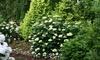 Hydrangea Lime Rickey Plant in 3L Pot