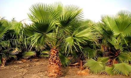 Set van 2 grote Washingtonia palmbomen