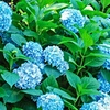 Forever and Ever Blue Heaven Hydrangea (Bareroot)
