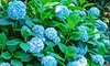 Forever and Ever Blue Heaven Hydrangea (Bareroot): Forever and Ever Blue Heaven Hydrangea (Bareroot)