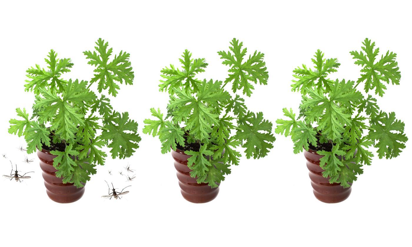 Set of Three Garden Ready Mosquito-Repellent Geranium Pelargonium Plug Plants
